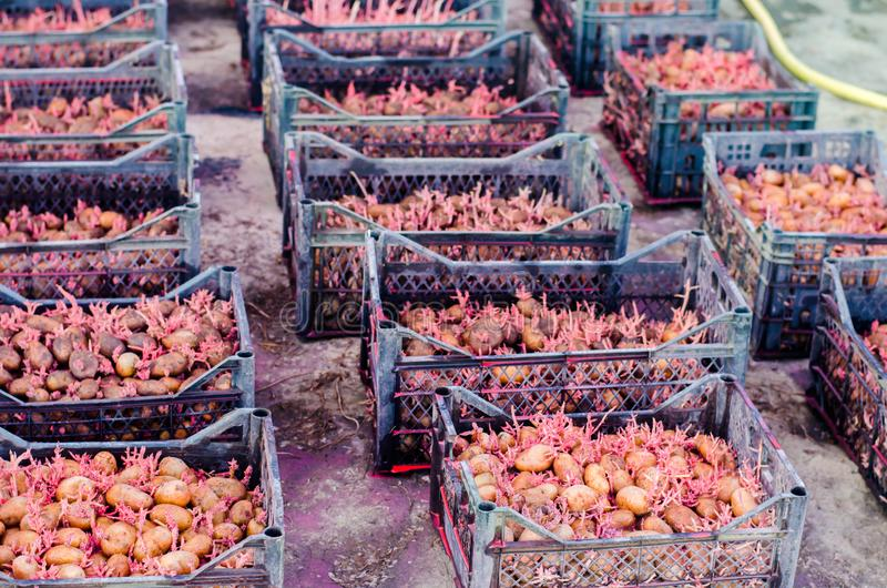 Seed potatoes with sprouts after processing from the Colorado beetle. Preparation for planting potatoes. seasonal work in the fiel stock photo