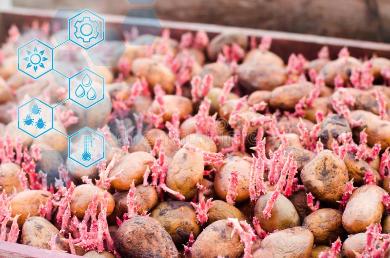 Seed potatoes with sprouts after processing from the Colorado beetle. Preparation for planting potatoes. seasonal work stock images