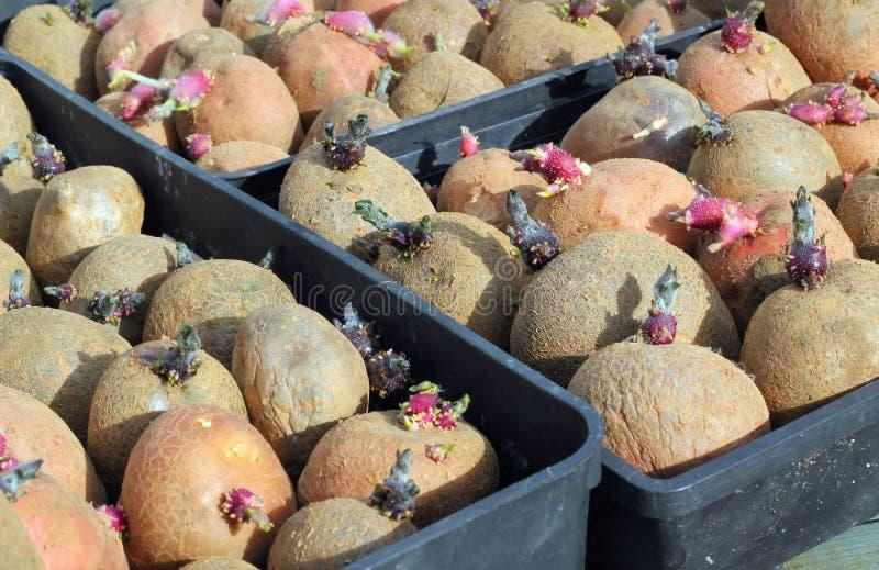 Seed Potatoes. royalty free stock image