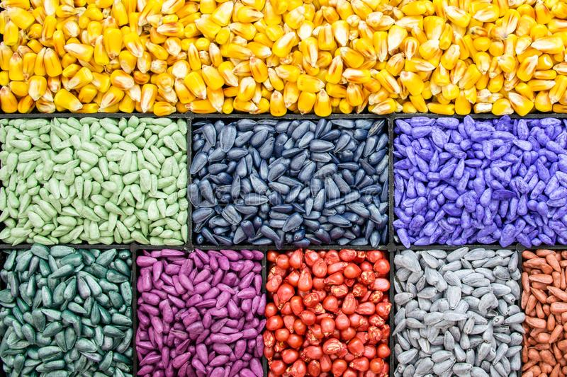 Seed sunflower seeds, corn, radishes. painted agro color for sorting and labeling royalty free stock photos
