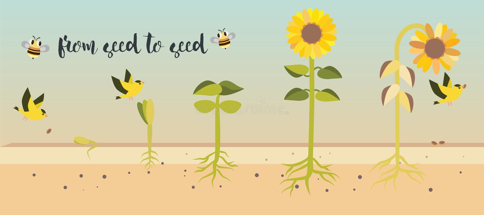 From seed to seed plant growth proccess stock illustration