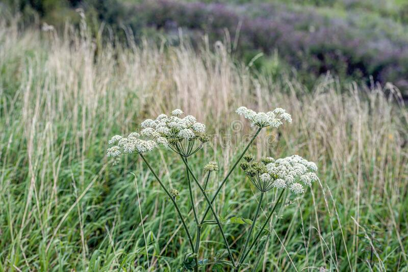 Seed and white flowers of common hogweed from close royalty free stock photo