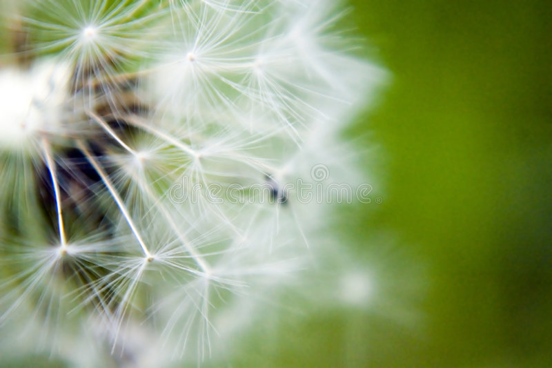 Seeded dandelion head. Close-up of seeded dandelion head, symbol of possibility, hope, and dreams. Good image for sympathy, get-well soon, or thinking of you
