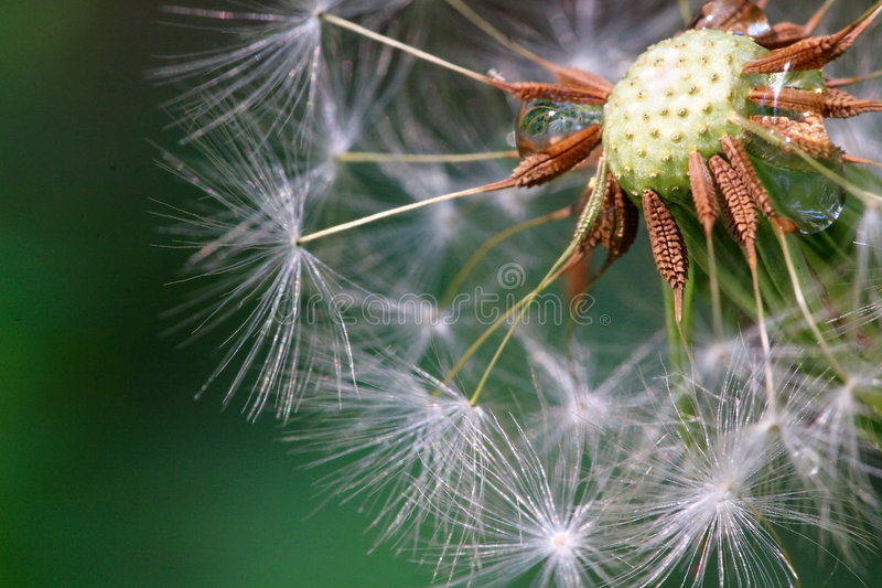 Seeded dandelion head. Close-up of seeded dandelion head, symbol of possibility, hope, and dreams. Good image for sympathy, get-well soon, or thinking of you royalty free stock photography