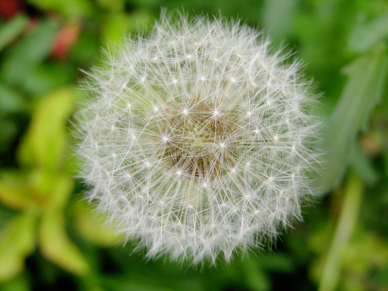 Seeded dandelion head royalty free stock photography