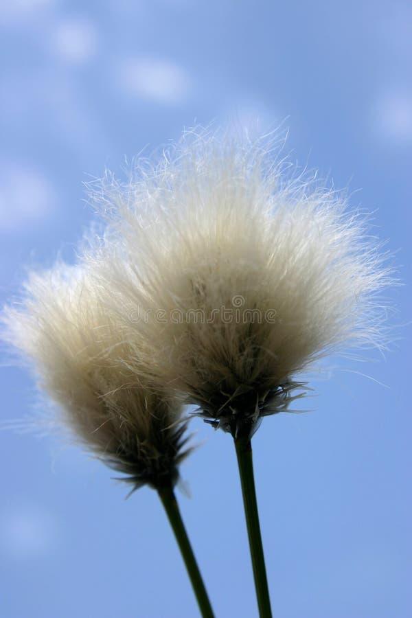 Seedhead de la hierba de algodón imagen de archivo