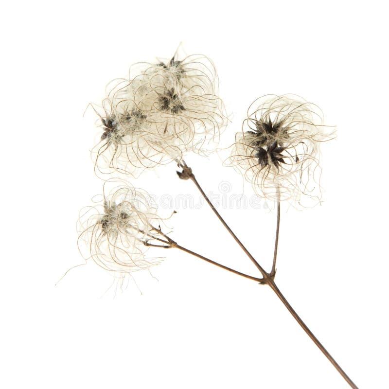 Seedhead seco do vitalba do Clematis fotos de stock royalty free