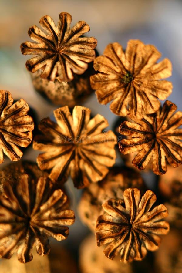 Seedheads de la amapola fotos de archivo