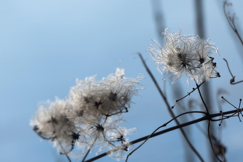 Seedheads secos del vitalba salvaje de la clemátide de la clemátide en invierno imagen de archivo libre de regalías