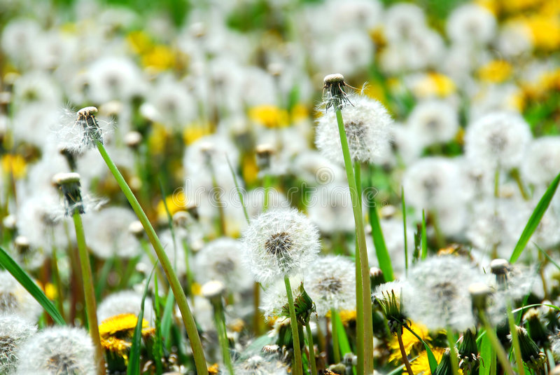 Seeding dandelions royalty free stock photo