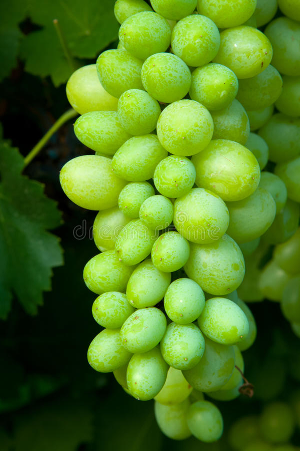 seedless white för druvor royaltyfri foto