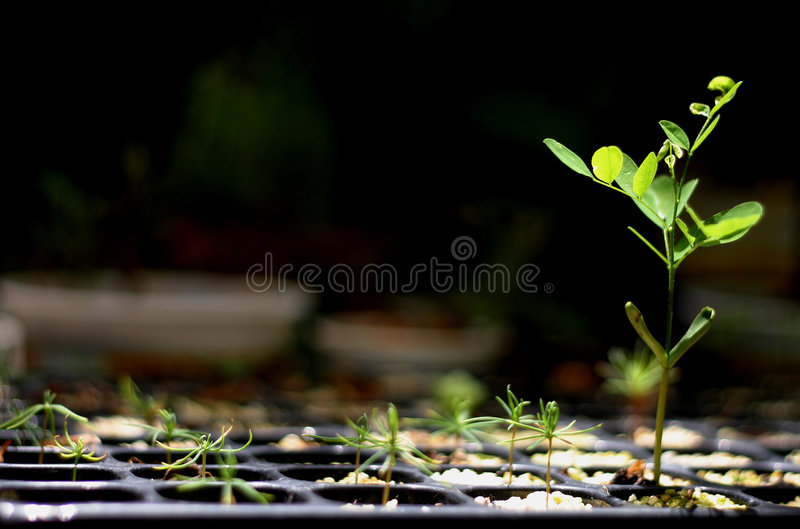 Seedling royalty free stock image