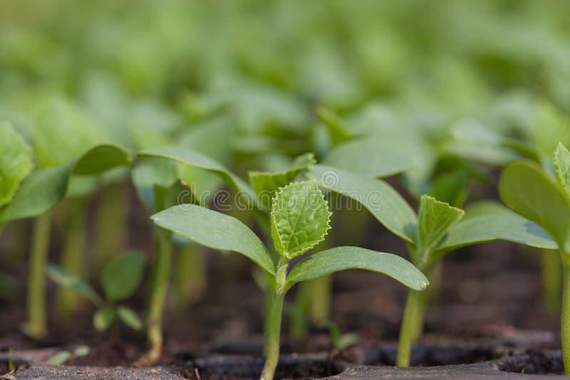 Download Seedling stock image. Image of nursery, plant, blooming - 38237289