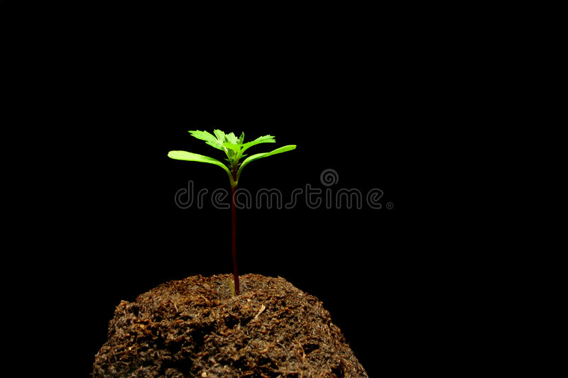 Seedling foto de stock royalty free