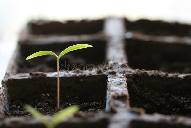 Seedling fotografia de stock royalty free