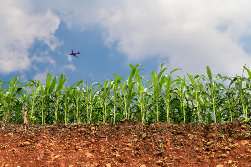 Seedling corn field on red lateritic soil cross section with plane royalty free stock photography