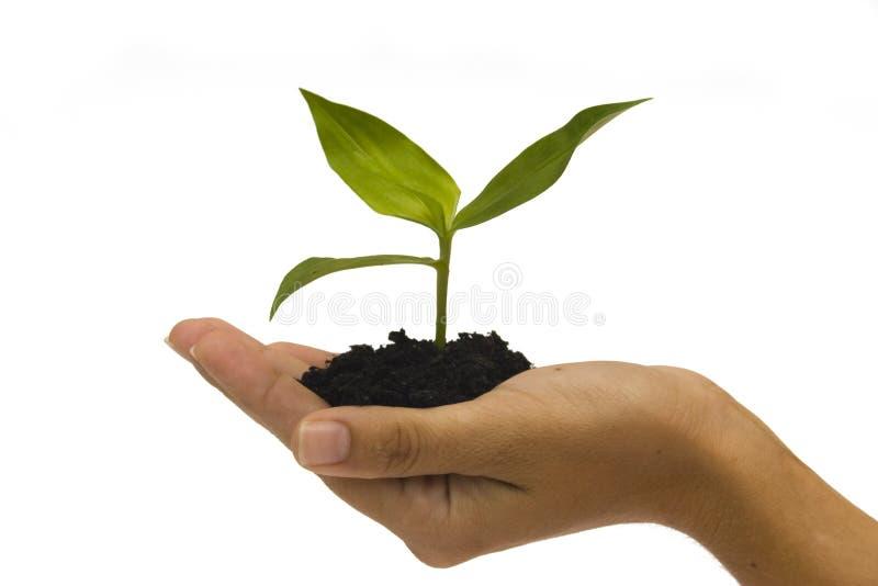 Seedling da terra arrendada da mão foto de stock royalty free