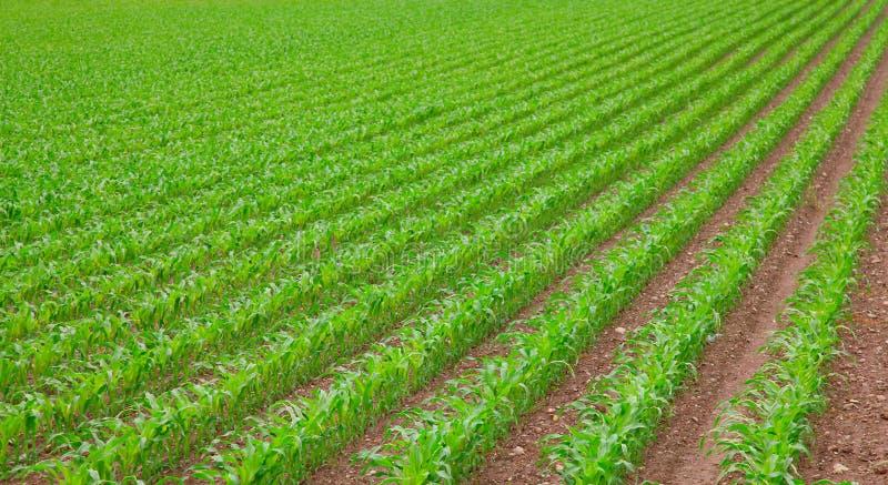 Seedling do milho foto de stock