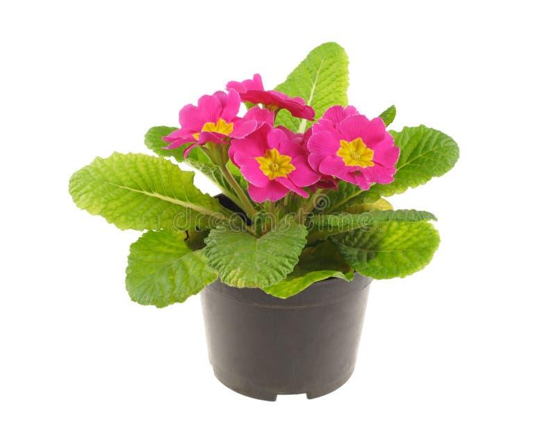 Seedling do primrose cor-de-rosa foto de stock royalty free