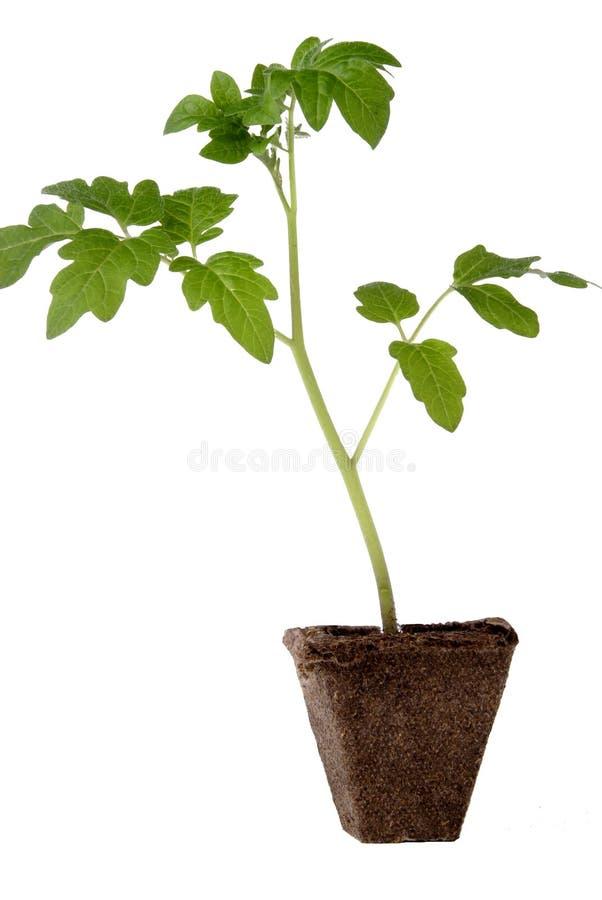 Seedling do tomate fotografia de stock