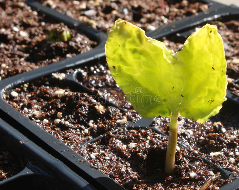 Seedling Emerges From Cell stock image
