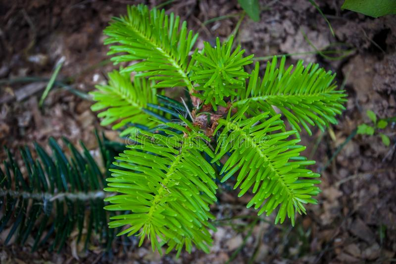 Fir seedling. Seedling of fir with young shoots grows in soil.View from above royalty free stock photo