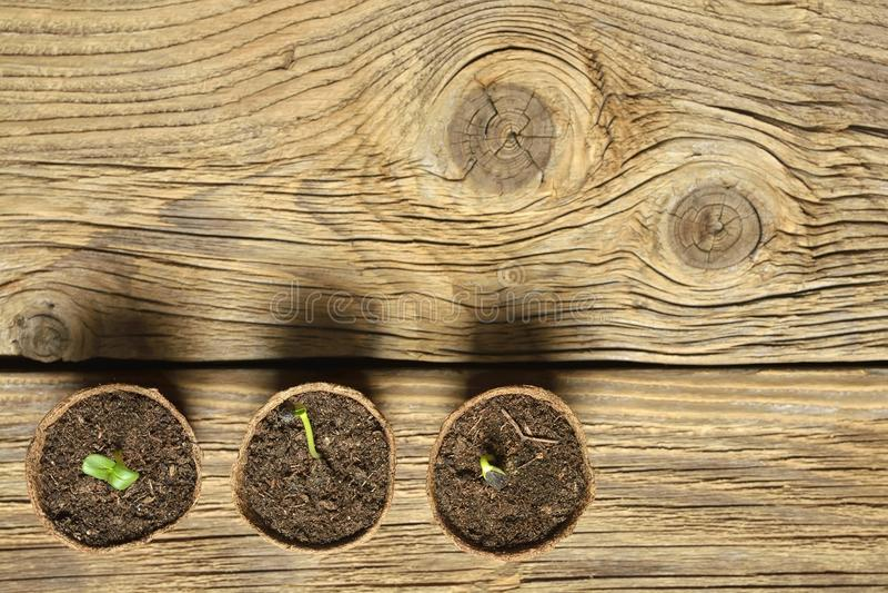 Seedling grow indoor. Sunflower seeds germinated. stock image