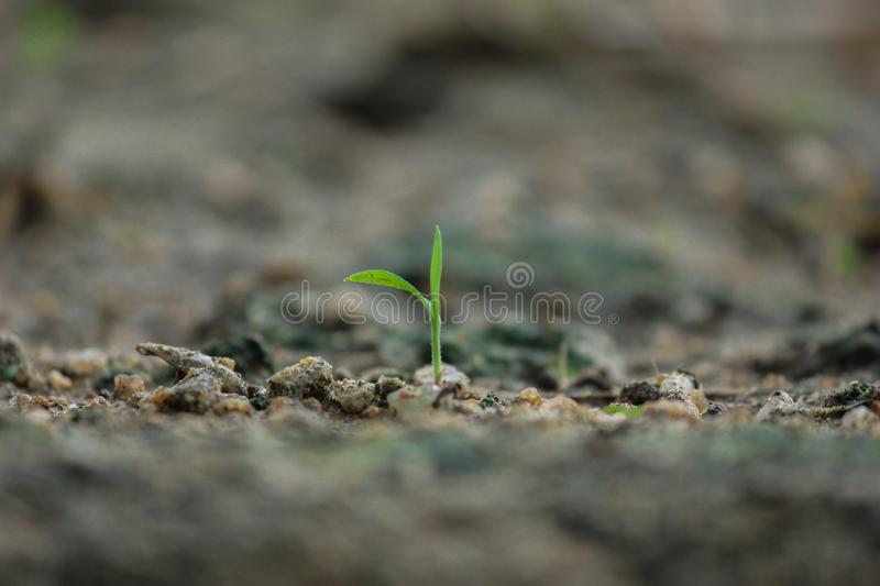 seedling growing strongly in organic soil. young green plant with two leaves, Earth day sapling April 22 stock photography