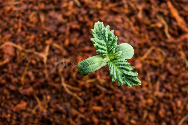 Seedling marijuana cannabis background stock photo
