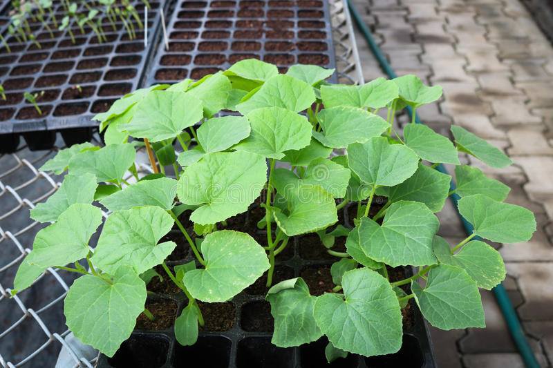 Seedling melon on black tray in greenhouse. Seedling melon on black tray in greenhouse stock photography