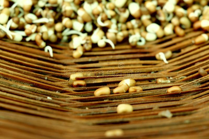Seedling of Mung Bean for health stock photos