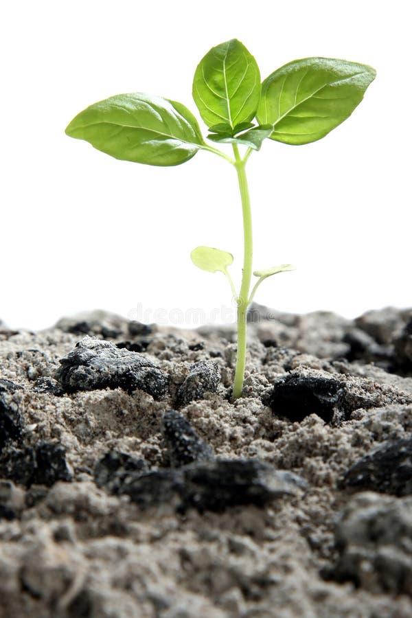 Seedling nas cinzas imagem de stock royalty free