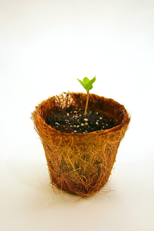 Free Seedling On Peat Pot Royalty Free Stock Image - 4383536
