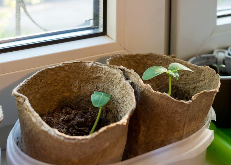 Seedling in peat pots on a windowsill flats stock photo