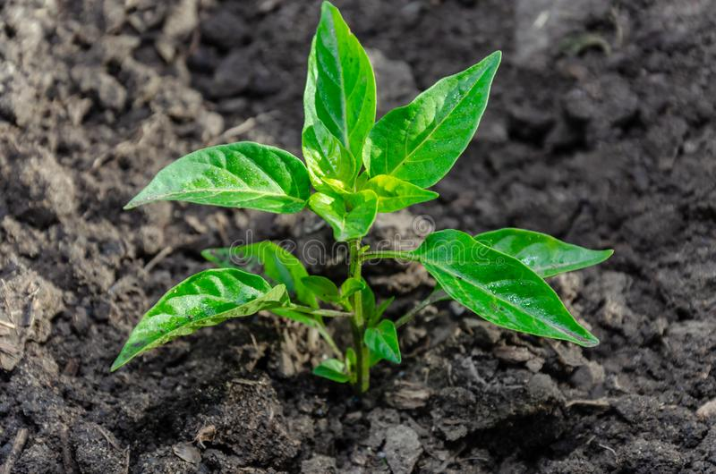 Seedling pepper of bitter bitter growing in the open ground or greenhouse royalty free stock photography