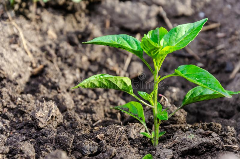 Seedling pepper of bitter bitter growing in the open ground or greenhouse royalty free stock photos