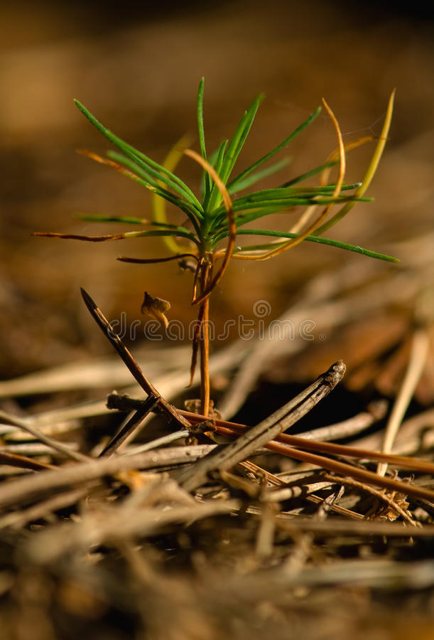 Download Seedling pine stock photo. Image of small, tree, pine - 26991384
