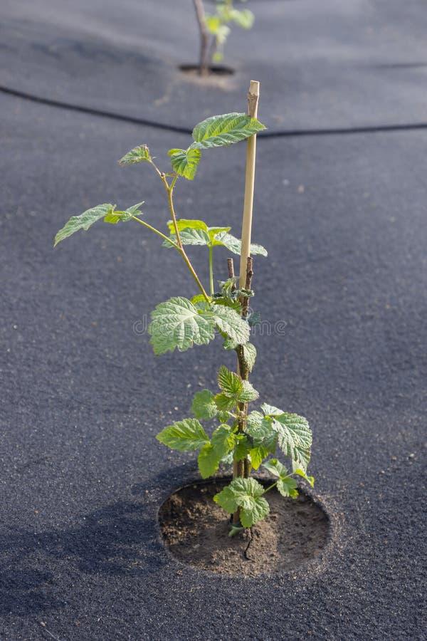 Seedling raspberries freshly planted royalty free stock photo