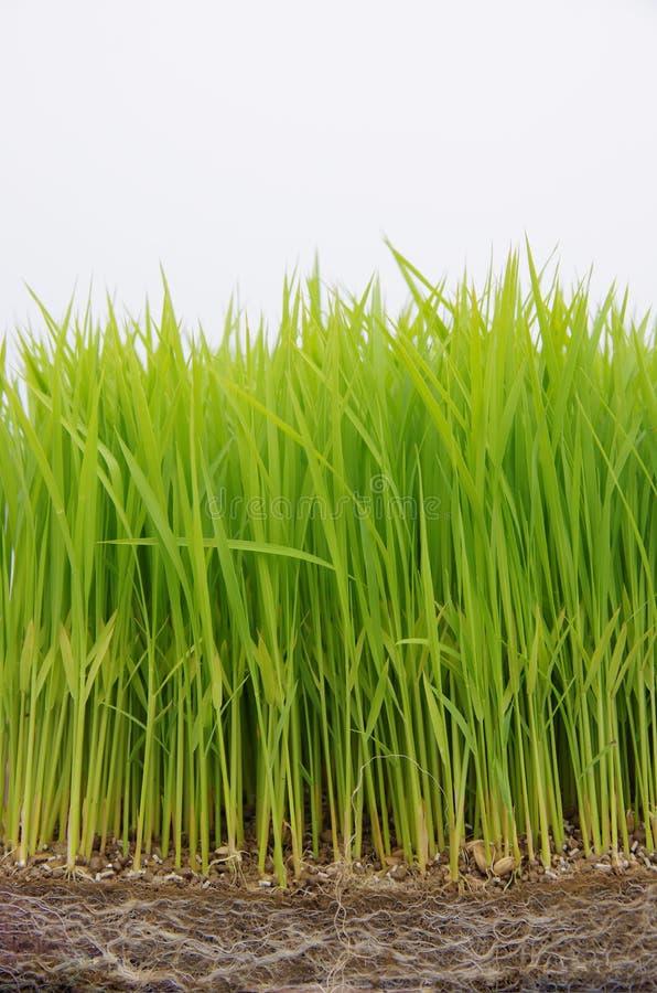 seedling rice royalty free stock photo