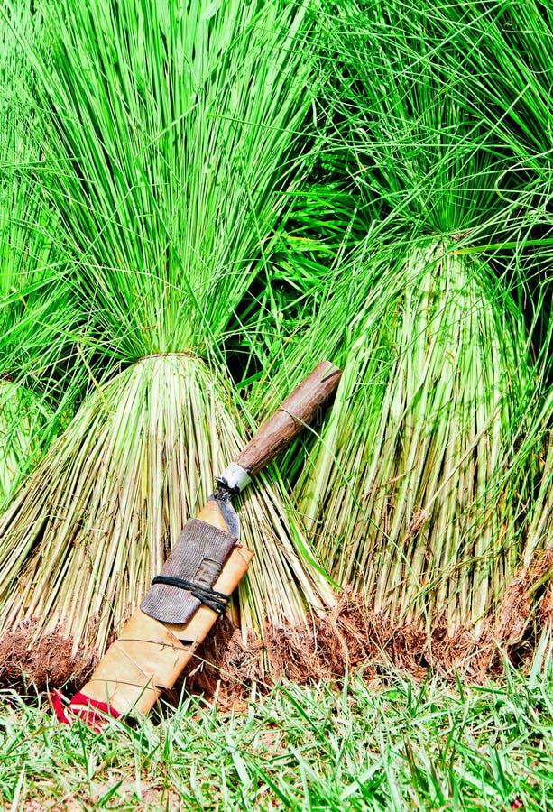 Download Seedling Rice Harvest Stock Photo - Image: 20863010