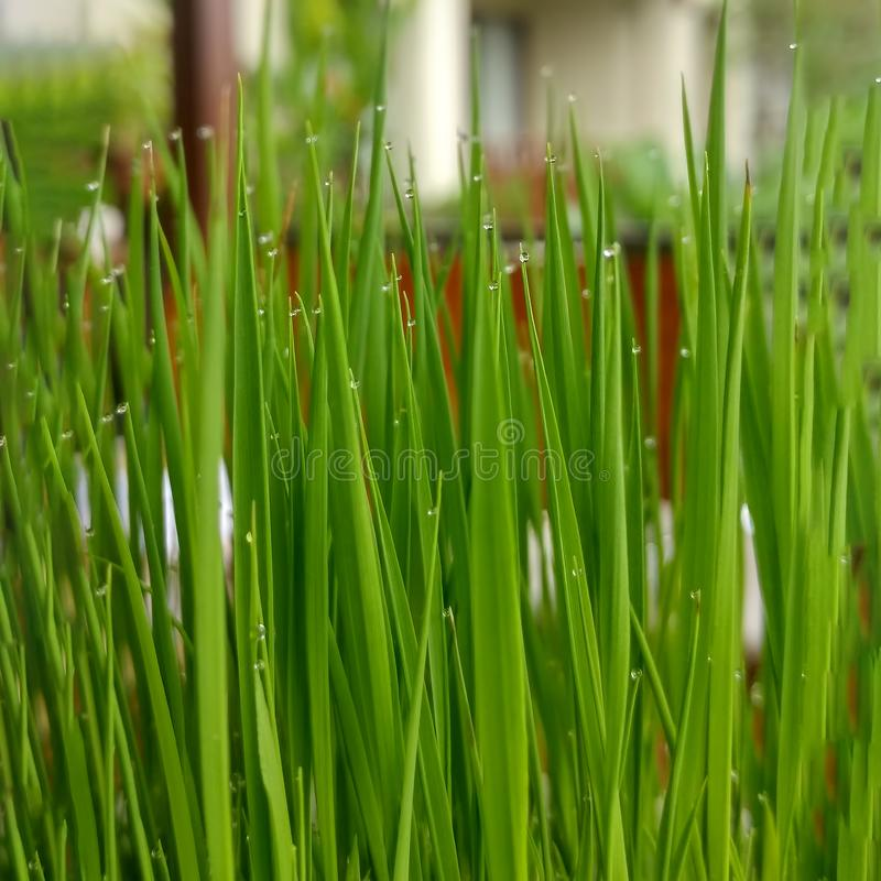 Seedling rice in pot on the table of cafe. Live green juicy grass in bowl with raindrops. Close up. Square image royalty free stock photos