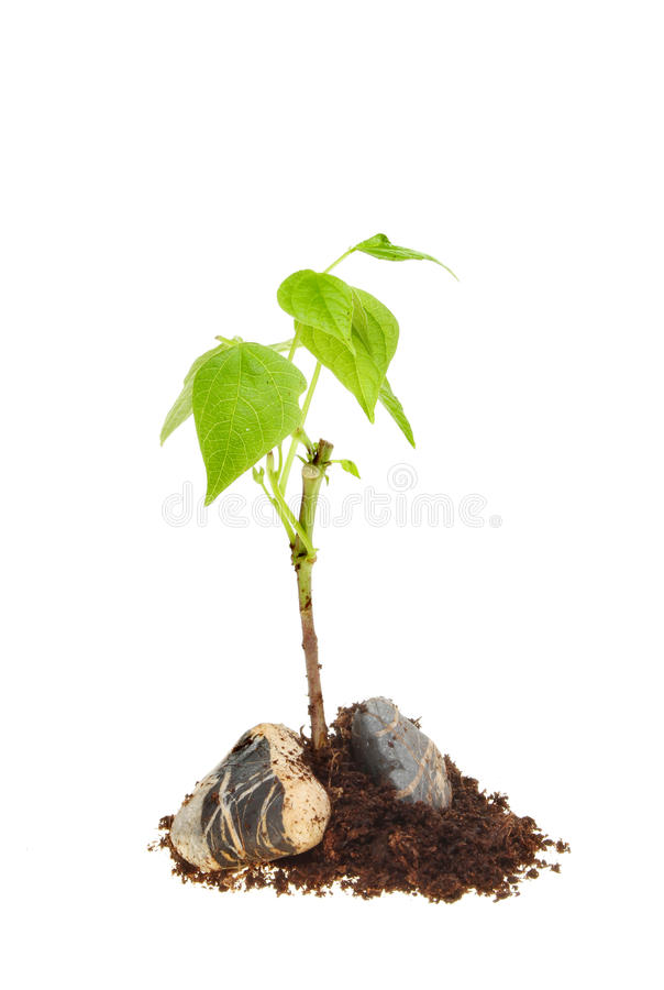 Seedling in rocks and soil. Seedling plant growing from rocks and soil isolated against white stock photo