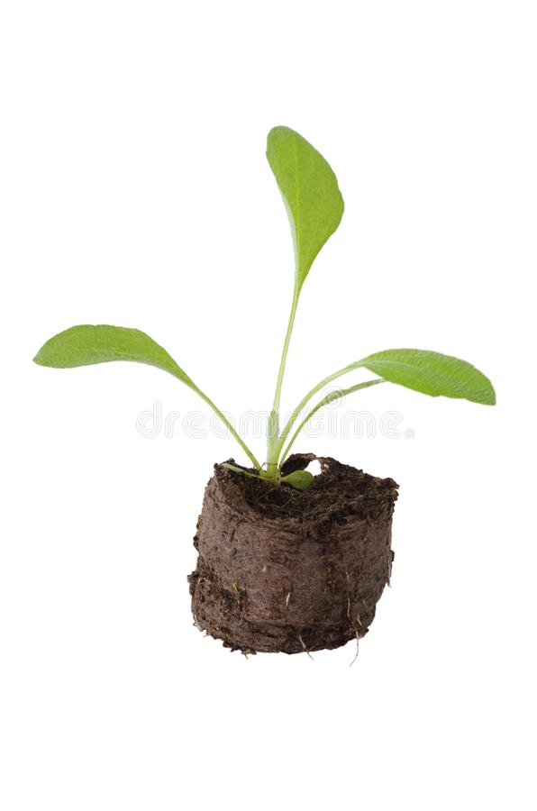 Seedling of rudbeckia flower in the peat tablets. Rudbecia flower sprout in peat tablet on white background royalty free stock photos