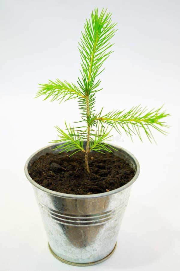 Seedling spruce pequeno fotos de stock