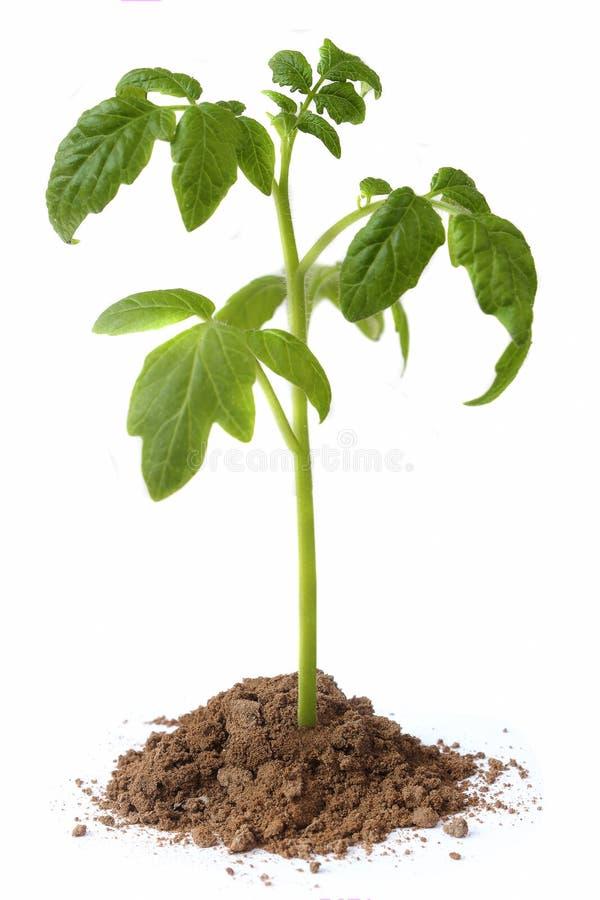 Seedling tomato on white background stock image