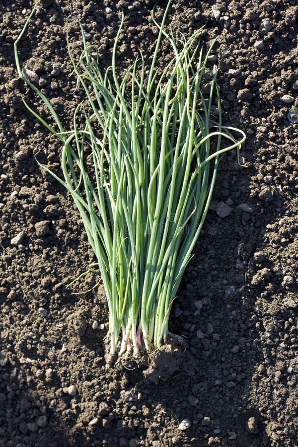 Download Seedling of water onion stock image. Image of gardening - 31014947