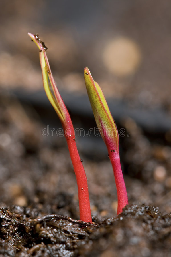 Free Seedlings Royalty Free Stock Photos - 4906998
