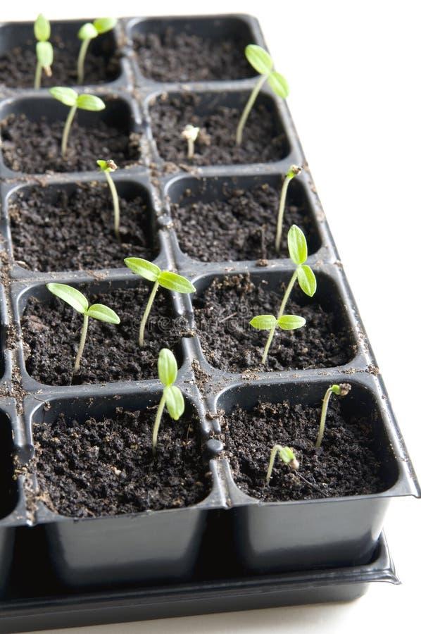 seedlings imagen de archivo libre de regalías