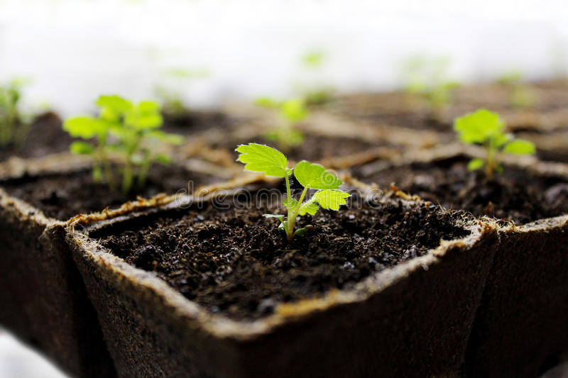 seedlings fotografia de stock royalty free