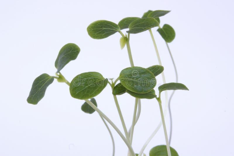 Seedlings royalty free stock photos